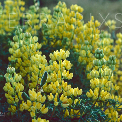 BSC137 Yellow Lupine-Big Sur Coast, CA