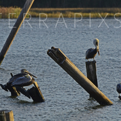 GUL119 Brown Pelicans-Bon Secour, AL