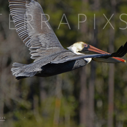 GUL144 Brown Pelican-Palmetto Creek-Perdido Bay, AL