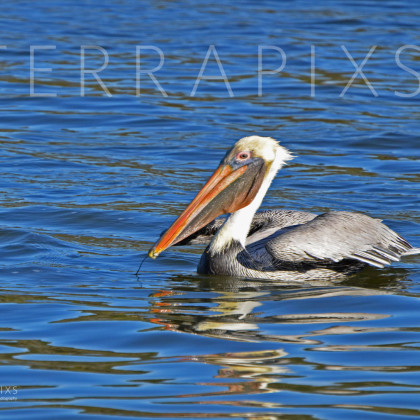 GUL145 Brown Pelican-Palmetto Creek-Perdido Bay, AL