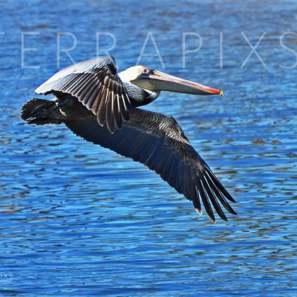 GUL175 Brown Pelican-Palmetto Creek-Perdido Bay, AL