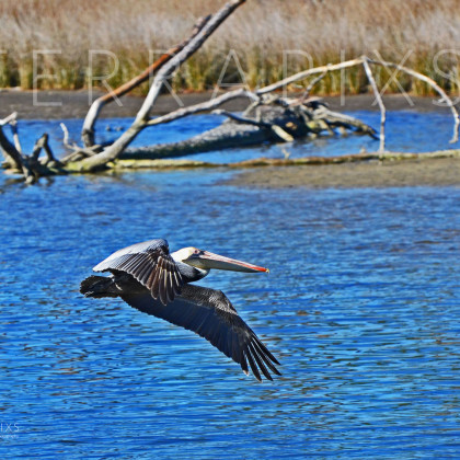 GUL176 Brown Pelican-Palmetto Creek-Perdido Bay, AL