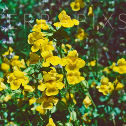 BSC121 Monkey Flowers-Big Sur Coast, CA