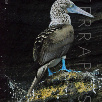 GAL121 Blue-Footed Booby-Bartolome Island-Galapagos Islands, Ecuador