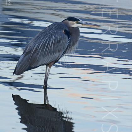 GUL127 Great Blue Heron-Bon Secour, AL