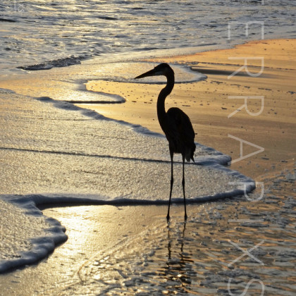 GUL161 Great Blue Heron-Perdido Key, FL
