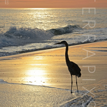 GUL165 Great Blue Heron-Perdido Key, FL