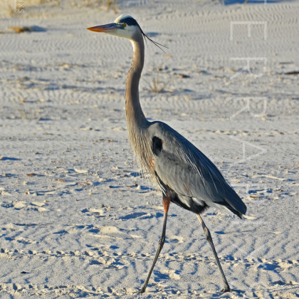 GUL171 Great Blue Heron-Perdido Key, FL