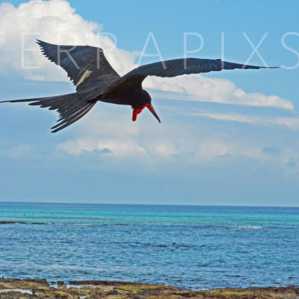 GAL163 Great Frigatebird-Santa Cruz Island-Galapagos Islands, Ecuador