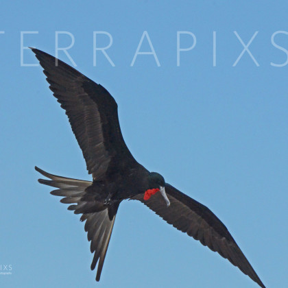 GAL162 Great Frigatebird-Santa Cruz Island-Galapagos Islands, Ecuador