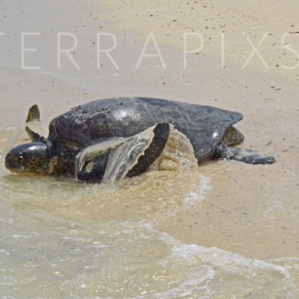 GAL165 Pacific Green Turtle Returning to the Sea After Laying Her Eggs-Santa Cruz Island-Galapagos Islands, Ecuador