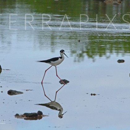 GAL167 Black-Necked Stilt-Santa Cruz Island-Galapagos Islands, Ecuador