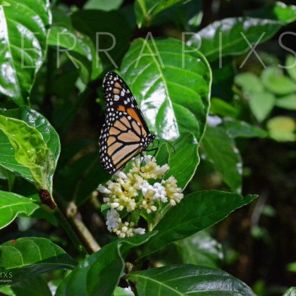 GAL171 Monarch Butterfly - Santa Cruz Island-Galapagos Islands, Ecuador