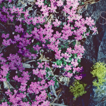 YOS127 Phlox & Lichen on Granite-Yosemite NP, CA