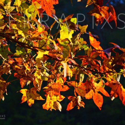 OTC106 Sweetgum Fall-Blount County, AL