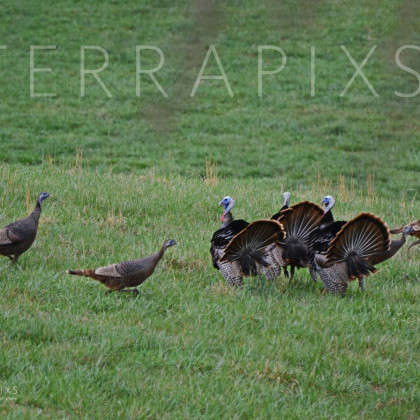 OTC108 Trying to Impress the Ladies-Wild Turkeys-Blount County, AL