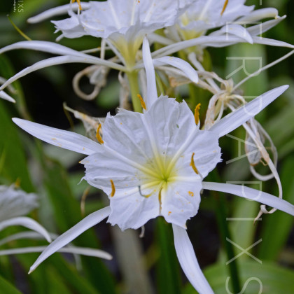 OTC116 Spider Lillies-Blackburn Fork-Blount County, AL