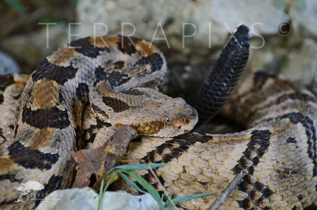 OCT101 Blount County, AL-Timber Rattler