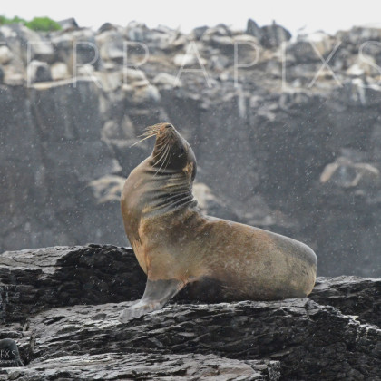 GAL101 Sea Lion-Espanola Island-Galapagos Islands, Ecuador