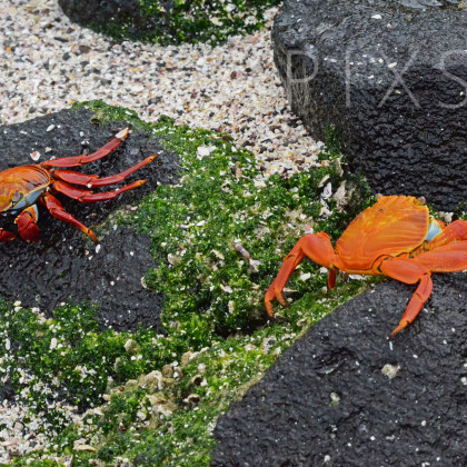 GAL106 Sally Lightfoot Crabs-Espanola Island-Galapagos Islands, Ecuador