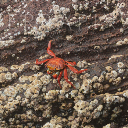 GAL113 Sally Lightfoot Crab & Barnacles-Bartolome Island-Galapagos Islands, Ecuador