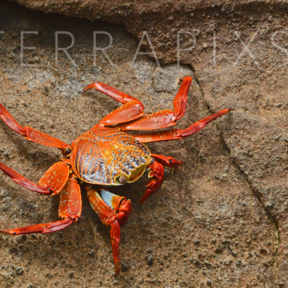 GAL114 Sally Lightfoot Crab-Bartolome Island-Galapagos Islands, Ecuador