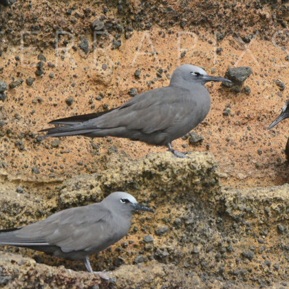GAL115 Brown Noddies-Bartolome Island-Galapagos Islands, Ecuador