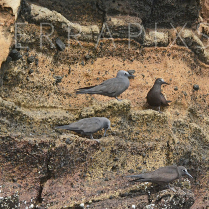 GAL116 Brown Noddies-Bartolome Island-Galapagos Islands, Ecuador