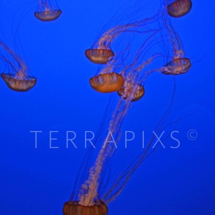 BSC117 Jellyfish-Big Sur Coast, CA