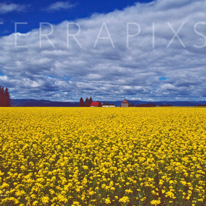 GLA114 Canola Oil Plants Near Flathead Lake West of Glacier NP, MT