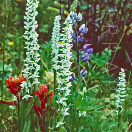 GSM106 Orchids, Indian Paintbrush & Lupine-Great Smoky Mountains NP, TN