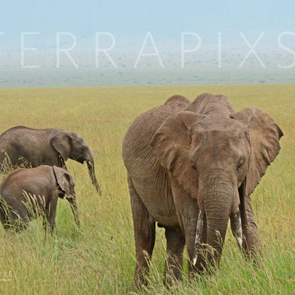 AFR227 African Elephants (family group)-Masi Mara Reserve, Kenya