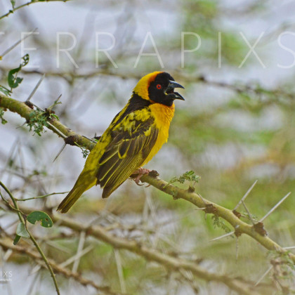 AFR154 Black-Headed Weaver on Acacia-Masi Mara Reserve, Kenya