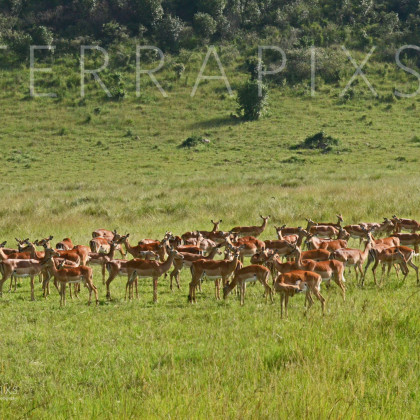 AFR156-Impala (female group)-Masi Mara Reserve, Kenya