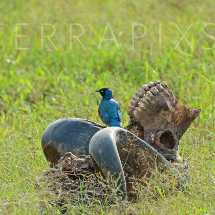 AFR185 Superb Starling on Cape Buffalo Skull-Masi Mara Reserve, Kenya