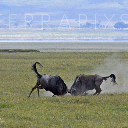 AFR530 White-Bearded Wildebeest In Combat-Ngorongoro Crater Conservation Area, Tanzania