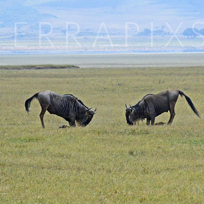 AFR531 White-Bearded Wildebeest Squaring Off-Ngorongoro Crater Conservation Area, Tanzania