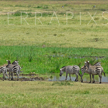 AFR532 Burchell's Zebra-Ngorongoro Crater Conservation Area, Tanzania