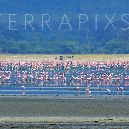 AFR533 Flamingo On Lake Magadi-Ngorongoro Crater Conservation Area, Tanzania
