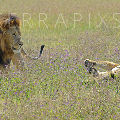 AFR534 African Lion & Loiness (being coy)-Ngorongoro Crater Conservation Area, Tanzania
