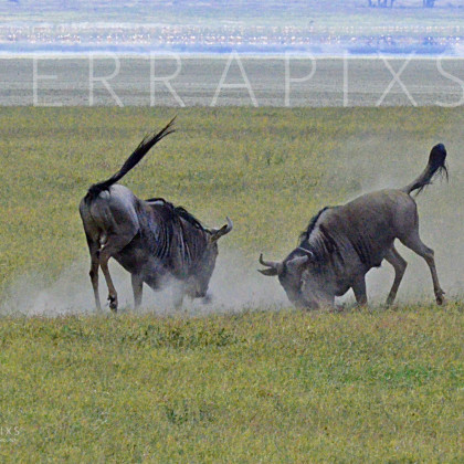 AFR535 White-Bearded Wildebeest In Combat-Ngorongoro Crater Conservation Area, Tanzania