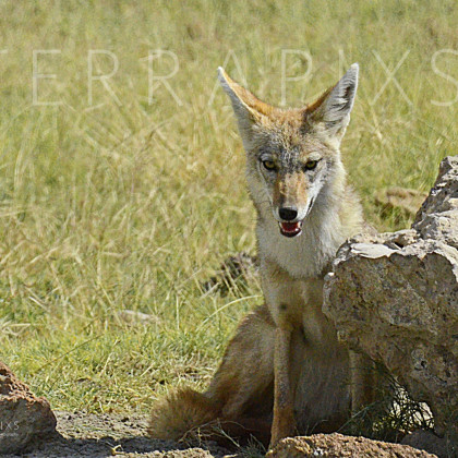 AFR536 Black-Backed Jackal-Ngorongoro Crater Conservation Area, Tanzania