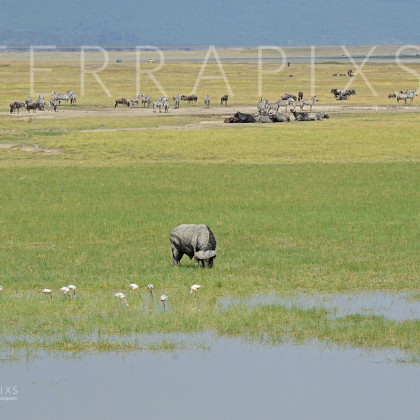 AFR537 Cape Buffalo, Burchelle's Zebra, White-Bearded Wildebeest & Flamingo-Ngorongoro Crater Conservation Area, Tanzania
