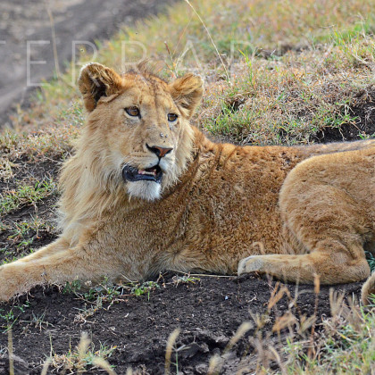AFR538 African Lion (young male)-Ngorongoro Crater Conservation Area, Tanzania