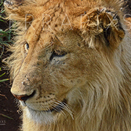 AFR539 African Lion (young male)-Ngorongoro Crater Conservation Area, Tanzania