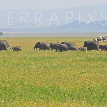 AFR602 African Elephants (family groups)-Serengeti National Park, Tanzania