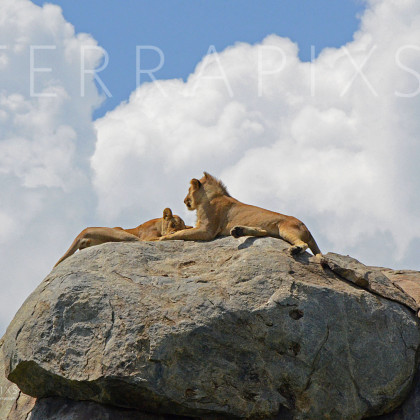 AFR603 African Lion & Lioness-Serengeti National Park, Tanzania