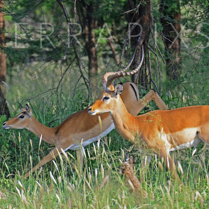 AFR606 Impala (male & Female)-Serengeti National Park, Tanzania