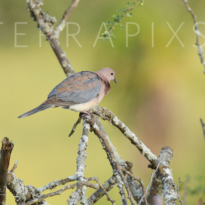 AFR611 Laughing Dove-Serengeti National Park, Tanzania