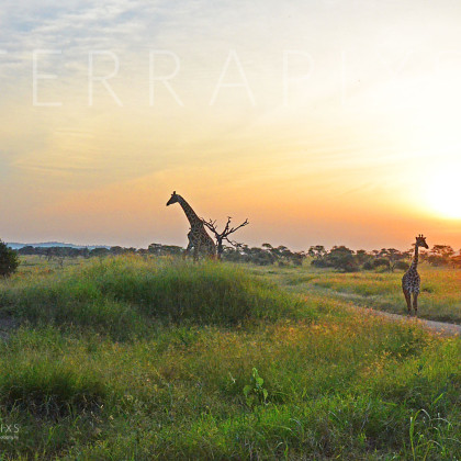 AFR615 Serengeti Sunset (Masi Giraffe)-Serengti National Park, Tanzania
